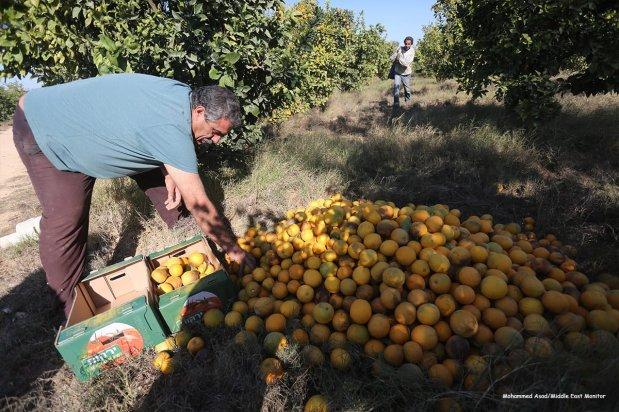 Citrus fruit harvest in Gaza [Mohammed Asad/Middle East Monitor]