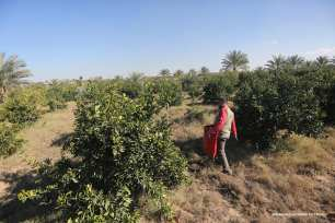 Citrus fruit harvest in Gaza [Mohammed Asad/Middle East Monitor]