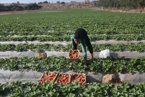 Strawberry farming in Gaza on 6th December 2016 [Mohammed Asad/Middle East Monitor]