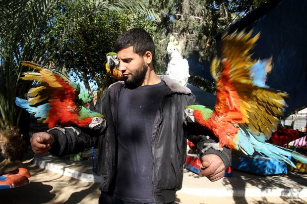 Parrots of the Caribbean in Gaza