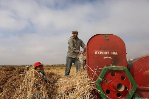 Palestinians harvest wheat at a field in an area adjacent to the border with Israel, in Khan Younis in the southern Gaza Strip 17 May, 2017 [Ashraf Amra/Apaimages]