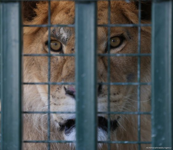A lion is seen in a cage in Bursa, Turkey on 26 July, 2017. Animals were injured and sick due to the ongoing civil war [Ali Atmaca/Anadolu Agency]