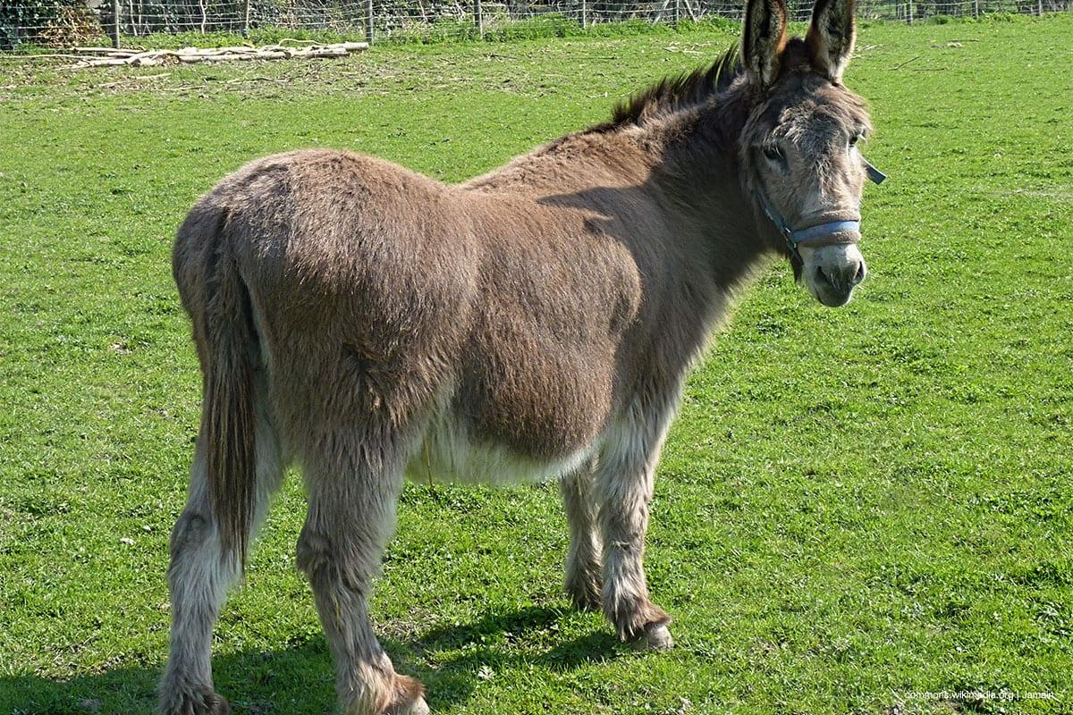File photo of a donkey [commons.wikimedia.org | Jamain]