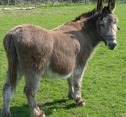 15 Moroccan boys gang-rape rabid donkey