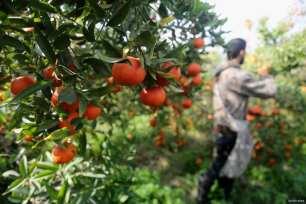 GAZA CITY, GAZA- It's orange season in Gaza!