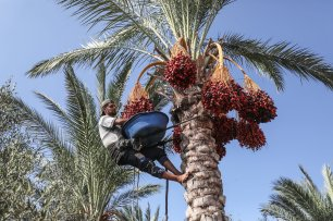 A Palestinian farmer climbs a tree to harvest date palms with the help of a rope in Deir al Balah, Gaza on 25 September, 2018 [Mustafa Hassona/Anadolu Agency]