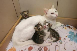 'Pamuk' the Van cat is seen in a basket with new born striped kittens after adopting them on September 25, 2018 in Van, Turkey. 3 orphaned kittens, whose mother died in a traffic accident were adopted and breastfed by Pamuk following their treatments at Yuzuncuyil University Faculty of Veterinary Science. Van cats have unique characteristic features like friendliness, having white and silky furry, long and fluffy tail that resembles a fox tail, love to swim and different eye colours. ( Özkan Bilgin - Anadolu Agency )