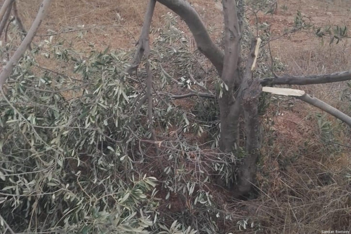 Israeli settlers damaged olive trees after storming into Palestinian olive groves on 11 September 2018 [Sawsan Bastawy]