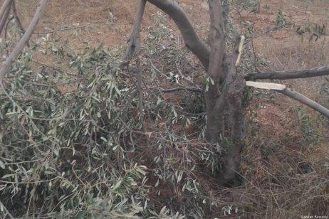 Israeli settlers damaged olive trees after storming into Palestinian olive groves on 11 September 2018 [Sawsan Bastawy]