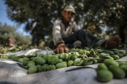 Olives are seen after being picked by farmers during harvest season in Gaza City, Gaza on 2 October, 2018. [Ali Jadallah/Anadolu Agency]