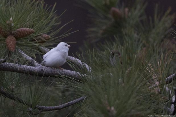 This is an incredibly rare sparrow... Ankara, 9 November 2018 [Mustafa Kamacı/Anadolu Agency]