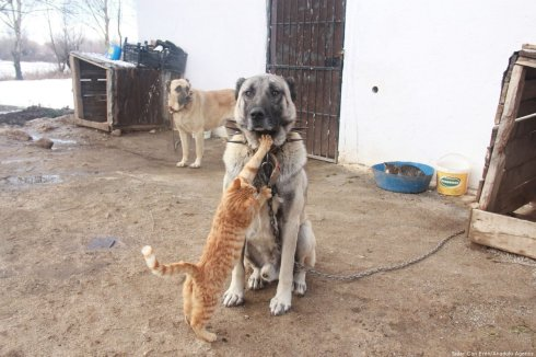 The dog breed is Kangal, and they spend time with 3 cats about town. Turkey, 19 November 2018 [Sidar Can Eren/Anadolu Agency]