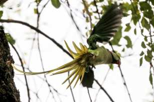 "The Alexandrine parakeet was first described by French zoologist Mathurin Jacques Brisson as Psittaca Ginginiana or ""La Perruche de Gingi"" (The Gingi's Parakeet) in 1760 Istanbul, 20 November 2018 [Berk Özkan/Anadolu Agency]"