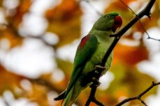"""The genus name Psittacula is a diminutive of the Latin word psittacus meaning """"parrot"""", and the specific name eupatria is derived from the Ancient Greek words eu- meaning """"well"""" and patriá meaning """"descent"""" Istanbul, 20 November 2018 [Berk Özkan/Anadolu Agency]"""
