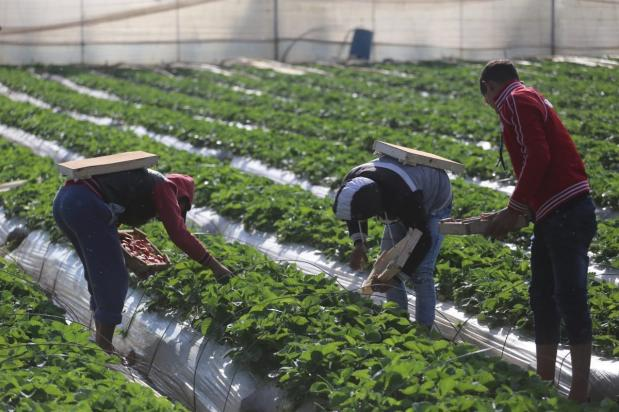 Strawberry picking in Gaza [Mohammed Asad/Middle East Monitor]