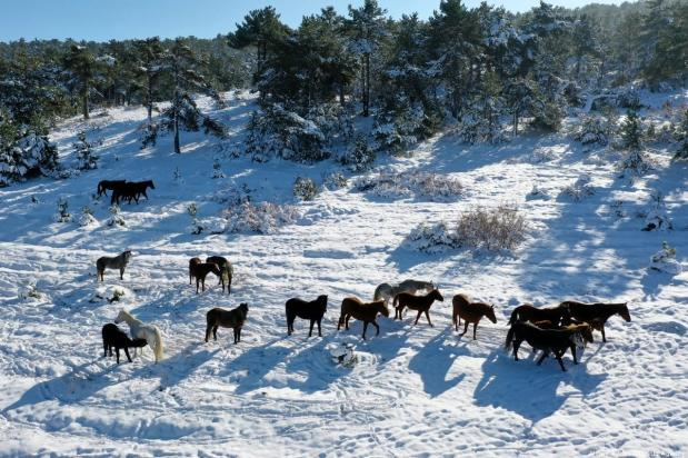 Herd of horses forage on snow covered Yaylacik forest in Turkey on 2 January 2019 [Alibey Aydın/Anadolu Agency]