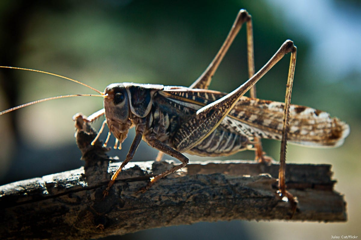 A locust perched on a branch [Julay Cat/Flickr]