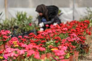 Palestinian woman Rava en-Naccar, 22, takes care of her flowers as she grows them after she was graduated from nursery department, at her green house in Gaza on February 25 2019 [Ali Jadallah/anadolu Agency]