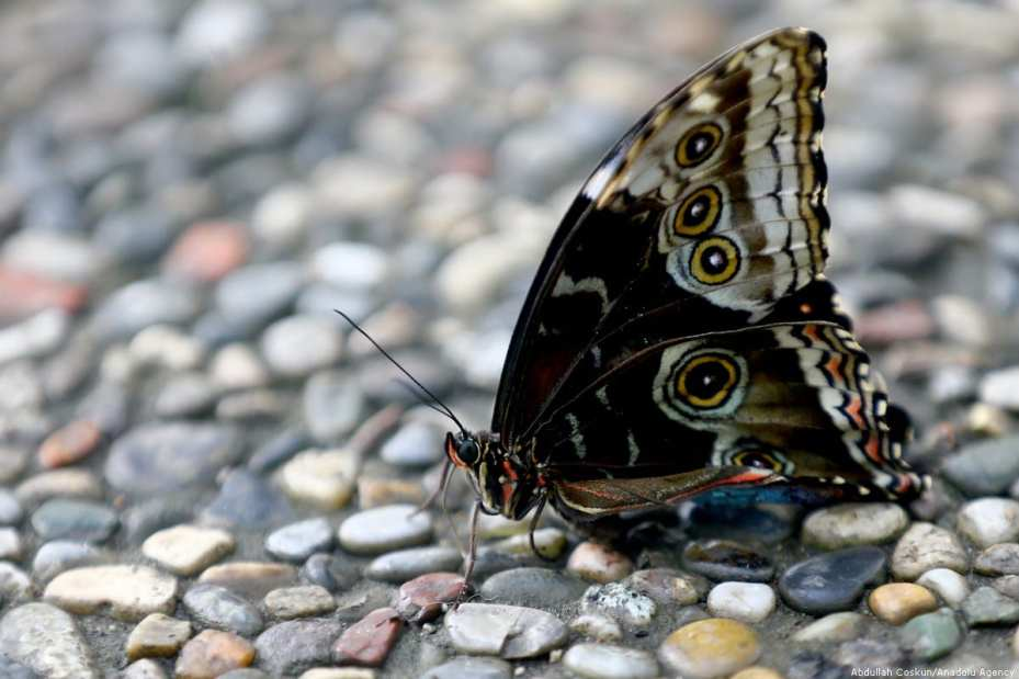 Apodemia Butterfly is seen at Konya Tropical Butterfly Garden, which has air conditioning system for the butterflies to keep them alive, in Turkey, on 6 March 2019 [Abdullah Coşkun/Anadolu Agency]