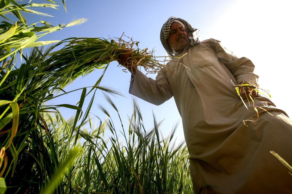 Iraqi farmer, harvests barley from a field in Baghdad, Iraq on 20 March 2018 [HAIDAR MOHAMMED ALI / AFP/Getty]