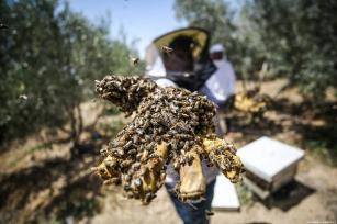 Palestinian apiarists keep bees in order to collect their honey as they begin harvesting honey at at honey filling facility in Rafah, Gaza on April 29, 2019. [Mustafa Hassona - Anadolu Agency ]