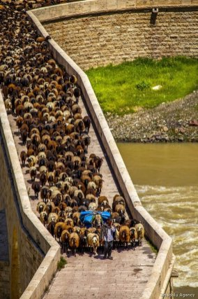 A herd passing through the historical Palu Bridge which has announced as one of the Turkey's 13 'grandest bridges' by The Culture and Tourism Ministry of Turkey, to reach high and cool highlands in Palu district of Elazig, Turkey on 9 May, 2019 [Enver Hancı/Anadolu Agency]