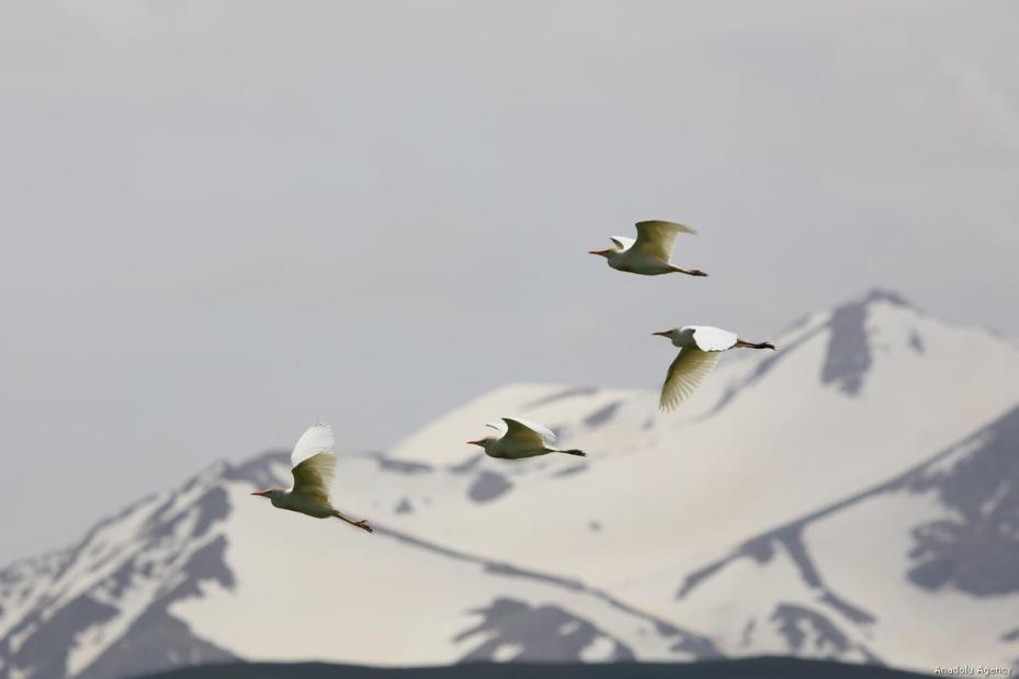 Cattle egrets, known as Bubulcus ibis, are seen at Lake Van basin which hosts many kinds of birds in Van, Turkey on 4 June, 2019 [Ali İhsan Öztürk/Anadolu Agency]