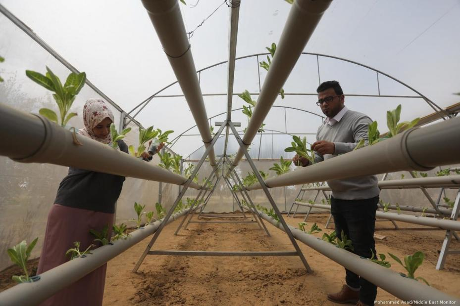Azzam Abu Daqqa and his sister Safia, both with engineering degrees, have built a greenhouse in Gaza which enables lettuce to grow without the need for soil [Mohammed Asad/Middle East Monitor]