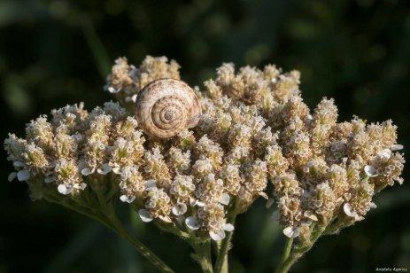 VAN, TURKEY - JULY 29 : A snail sits on a flower in Van, Turkey on July 29, 2019. ( Özkan Bilgin - Anadolu Agency )