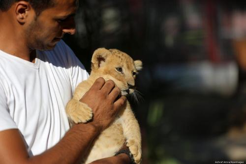 A Palestinian man holds a lion cub at a zoo in Gaza on 11 September 2019 {Ashraf Amra/Apaimages]