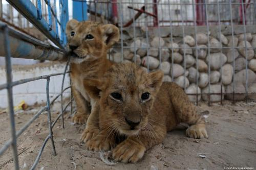 Lion cubs play at a zoo in Gaza on 11 September 2019 [Ashraf Amra/Apaimages]