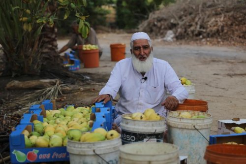Guava season starts in Gaza, on 3 October 2019 [Mohammed Asad]