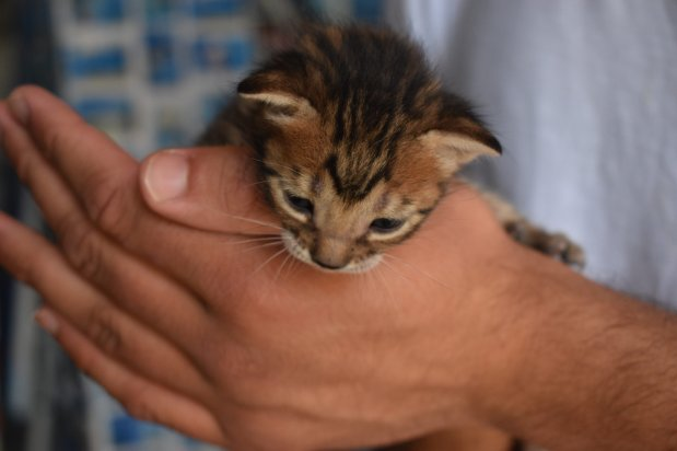 A kitten caught roaming a shop in the city of Chefchaouen is picked up, manhandled, and cuddled