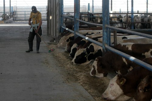 A Palestinian farmer feeds calves and cows at a cattle farm in Rafah in the southern Gaza Strip, on 8 April 2014. [Eyad Al Baba - Apaimaged}