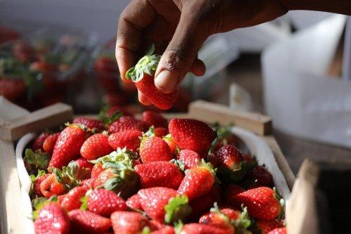 Freshly picked strawberries in Gaza on 16 December 2019