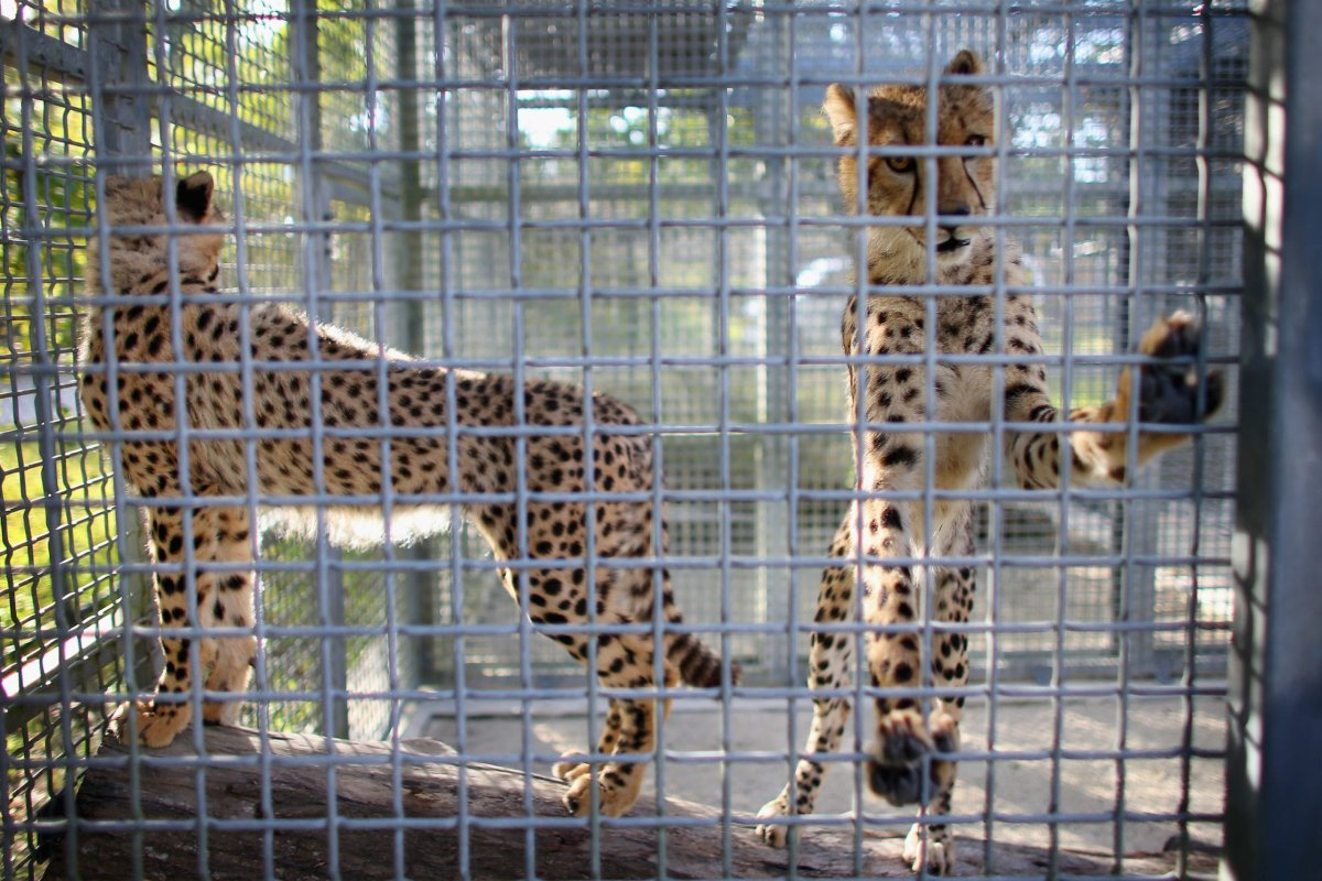 Two 9-month old Cheetahs stand in a cage after they were released into a quarantine facility at Zoo Miami on November 29, 2012 in Miami, Florida. [Joe Raedle/Getty Images]