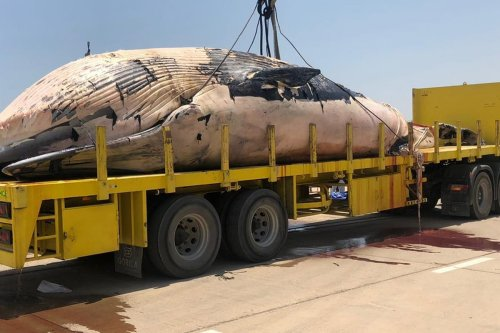 A 15-metre-long whale is put onto a truck after washed up on Kuwait's shores