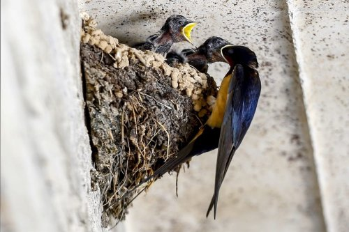 Baby swallow birds open their mouths to be fed by their mother in a nest in Isparta, Turkey on 18 June 2020. [Mustafa Çiftçi - Anadolu Agency]