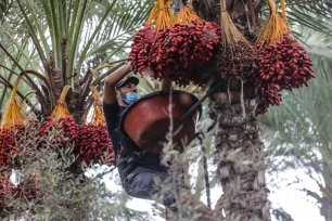 Palestinian farmers pick dates from a date farm in Gaza, on 1 October 2020 [Mohammed Asad/Middle East Monitor]