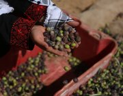 The Ministry of Agriculture in Gaza expects the enclave to harvest 24,000 tonnes of olives in 2020, a 30% drop as a result of climate change [Mohammed Asad/Middle East Monitor]