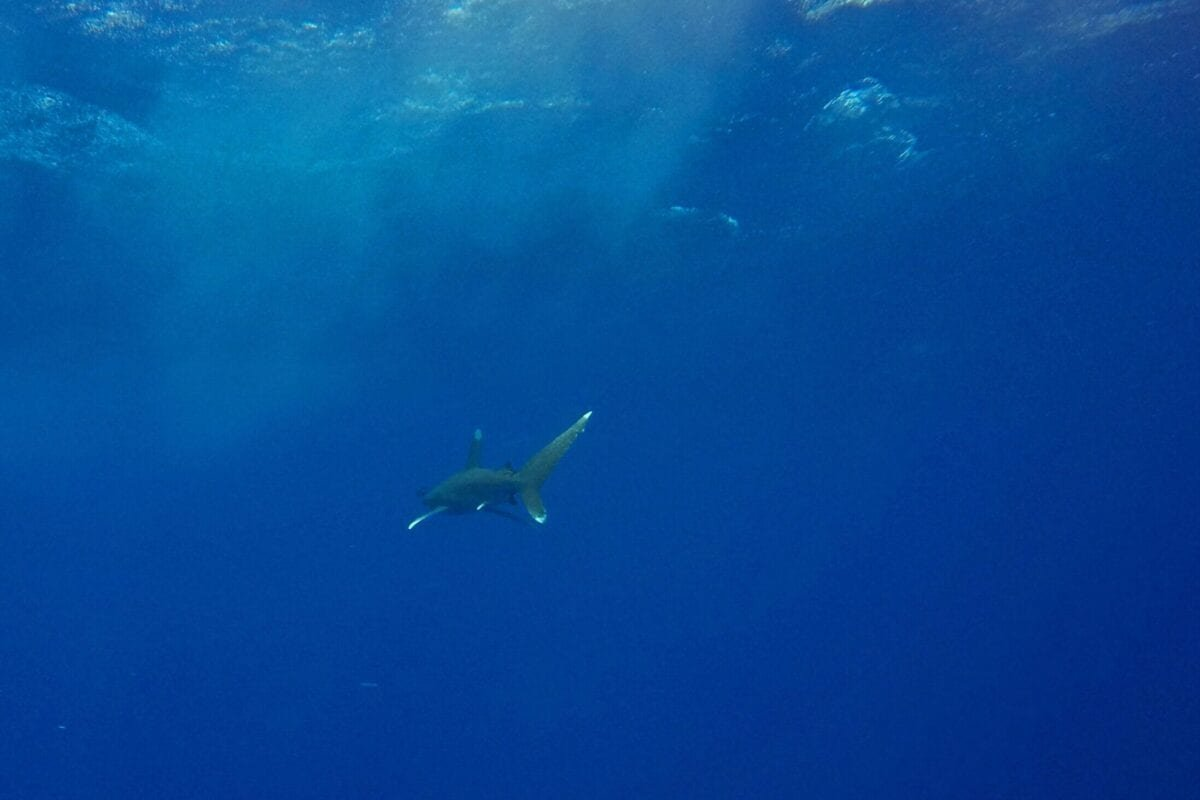 This picture shows an Oceanic Whitetip shark swimming in the blue near the Elphinstone reef dive site off the coast of Marsa Alam in the Egyptian Red Sea on October 9, 2018. (Photo by Andrea BERNARDI / AFP) (Photo credit should read ANDREA BERNARDI/AFP via Getty Images)