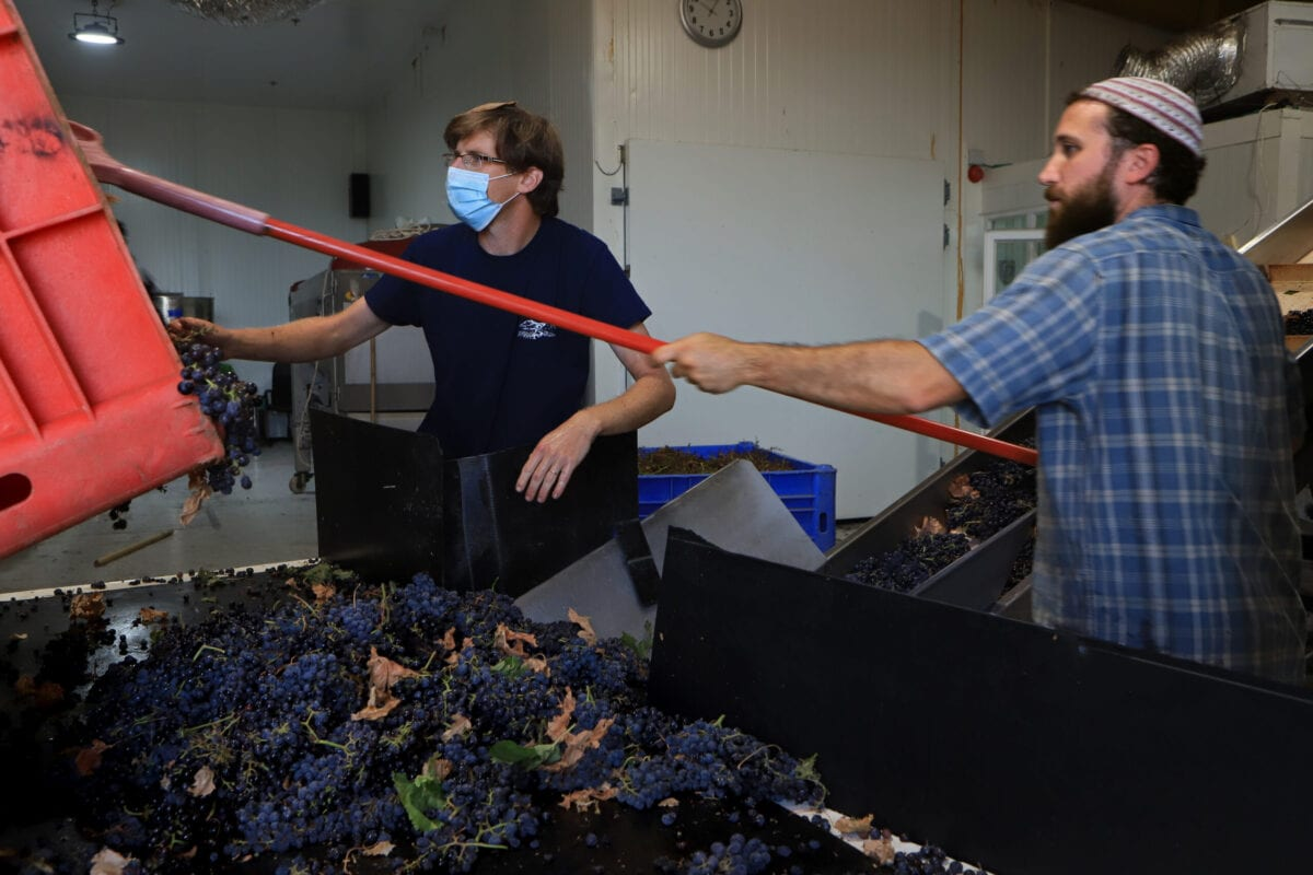 KIBBUTZ ORTAL, GOLAN HEaIGHTS - OCTOBER 5: Merlot grapes, the last pick of Ortal Winery's 2020 harvest, are received at the winery on October 5, 2020 at Kibbutz Ortal in Israel's Golan Heights. This year's harvest has been fraught with challenges for Israeli winemakers who faced extended heat waves throughout the ripening season and labor shortages as a result of the closures and lockdowns of the Covid-19 pandemic. (Photo by David Silverman/Getty Images)