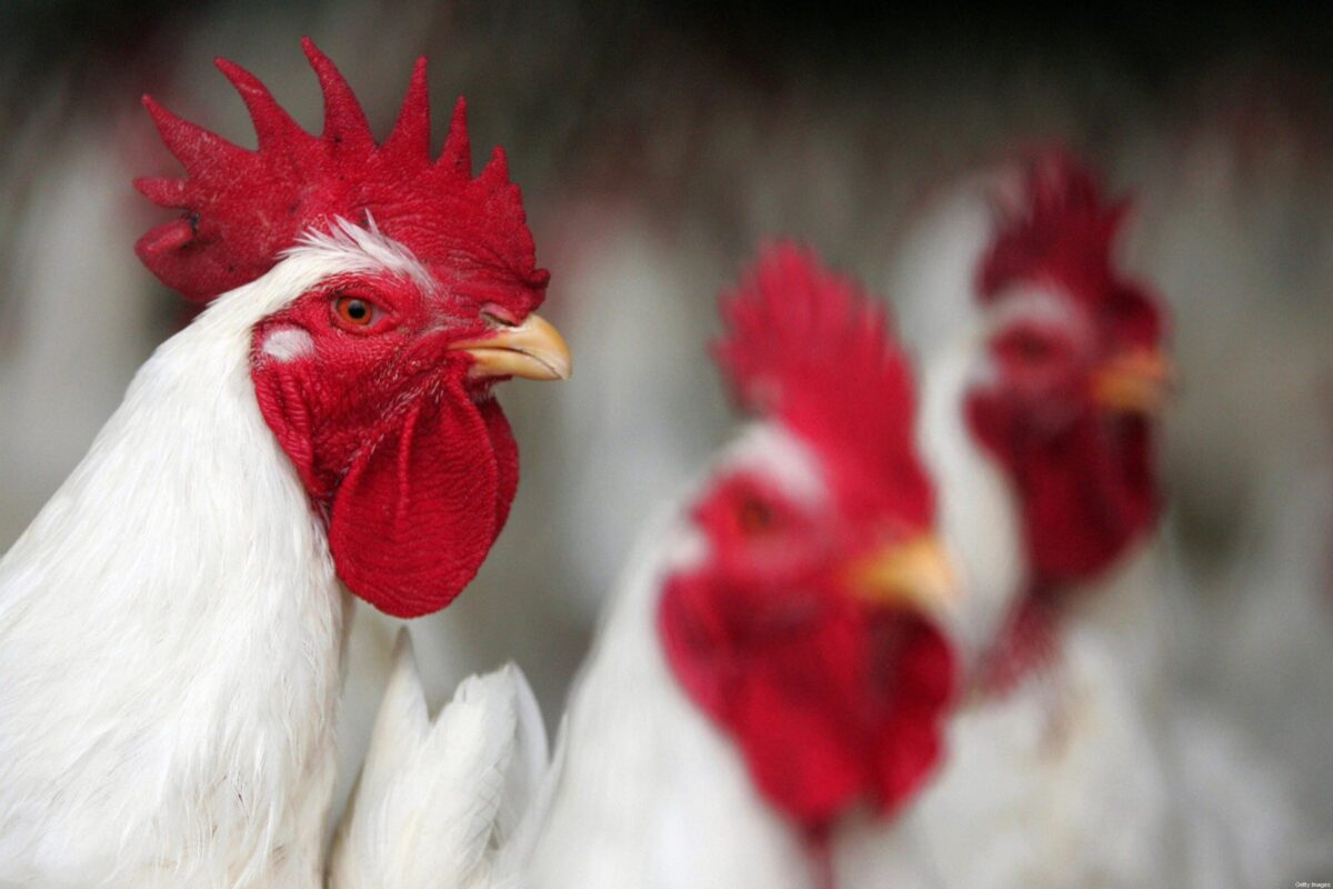 Chicken sit in a farm near Jamasa city, 170 kms north of Cairo, 28 April 2007. [KHALED DESOUKI/AFP via Getty Images]