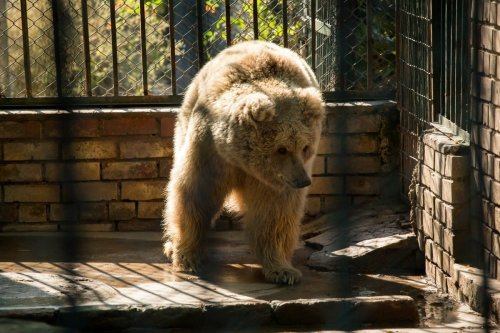 A sickly bears at a sanctuary in Jordan on after leaving Pakistan's notorious Margahazar Zoo, 17 December 2020 [fourpawsint/Twitter}