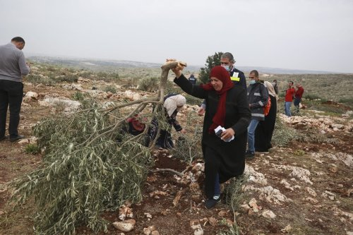 SALFIT, WEST BANK - JANURAY 13: Palestinians gather in Deir Ballut town of Salfit Governorate, to attend an event to plant olive saplings on the land where olive trees were uprooted by Jewish settlers, in West Bank on January 13, 2021. ( Issam Rimawi - Anadolu Agency )