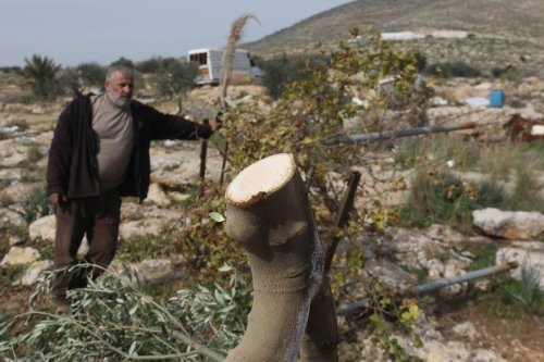 TUBAS, WEST BANK - JANUARY 27: Palestinian man shows trees after they were destroyed by Israeli forces in Tubas, West Bank, January 27, 2021. Israeli forces destroyed thousands of trees in the woods on the grounds that they were at the military exercise area. ( Nedal Eshtayah - Anadolu Agency )