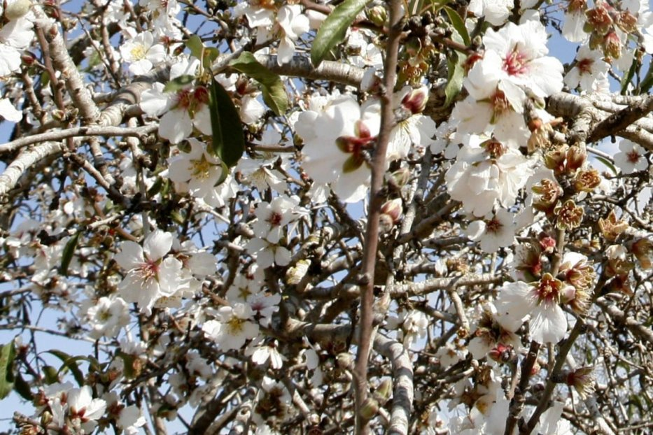 Almond trees bloom in the southern Gaza strip town of Rafah on January 22, 2012.Photo by Abed Rahim Khatib