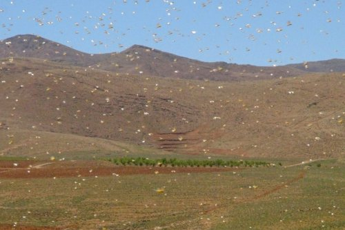 A swarm of desert locusts fly in Lebanon's northeastern town of Arsal on the border with Syria, on April 23, 2021 [AFP via Getty Images]