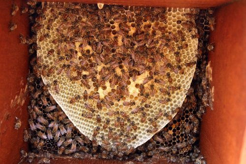 Bees are seen on a honeycomb at an apiary in Yemen's northern Hajjah province on 10 November 2019. [ESSA AHMED/AFP via Getty Images]