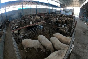 Palestinians prepare animals for slaughter for Eid Al-Adha in Gaza, 15 July 2021 [Mohammed Asad/Middle East Monitor]